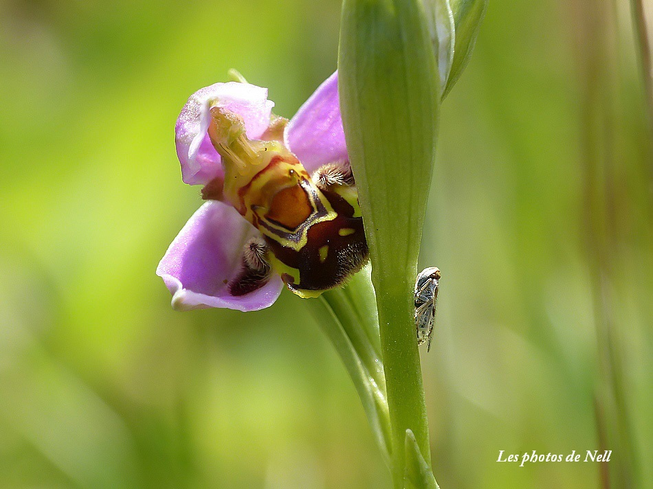 Orchidée sauvage (Ophrys abeille )..JPG