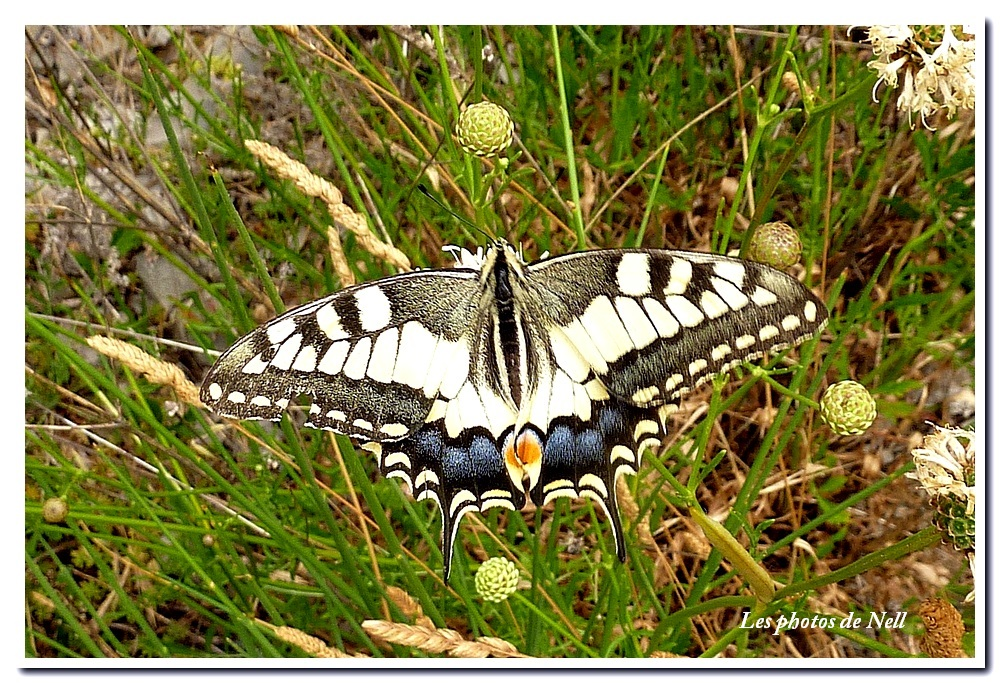Machaon (1).JPG