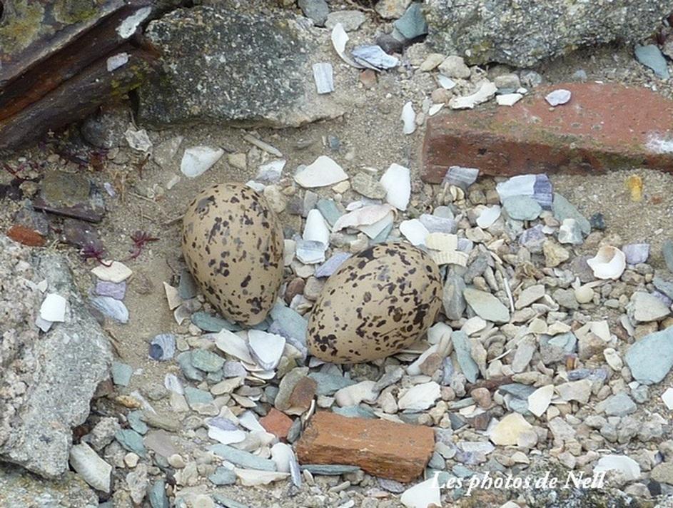Huîtrier pie (Haematopus ostralegus) ou Pie de mer (2).jpg