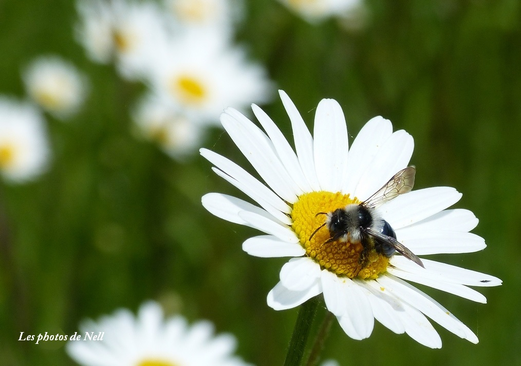 Andrena cineraria'abeille des sables (2).JPG