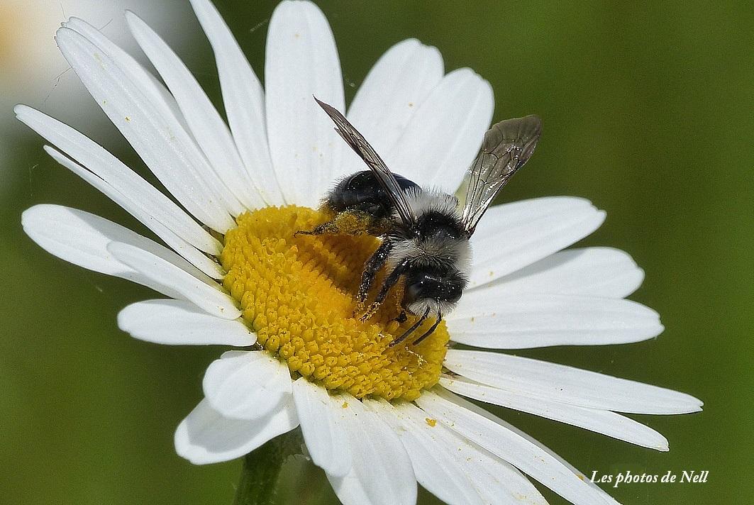 Andrena cineraria'abeille des sables (1).JPG