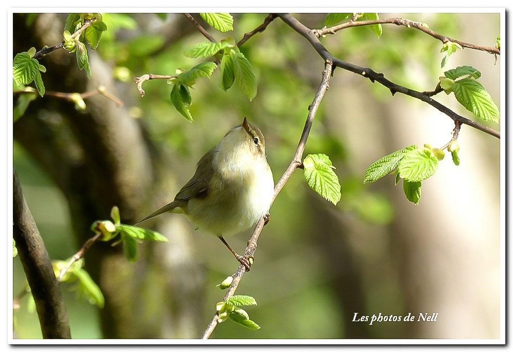 Fauvette des jardins (Sylvia borin) (2).JPG