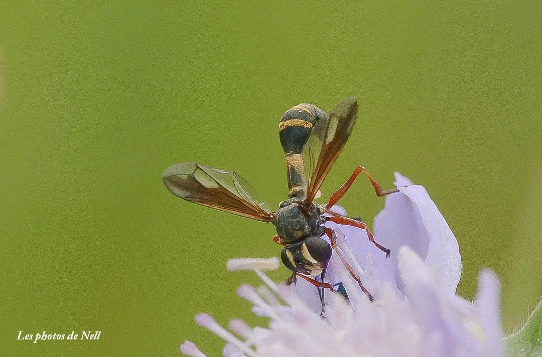 Physocephala rufipes (Fabricius 1781) Conopidae femelle (4).JPG