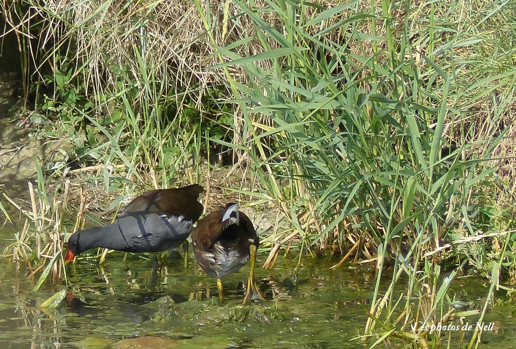 Poule d'eau mâle et femelle  (2).JPG