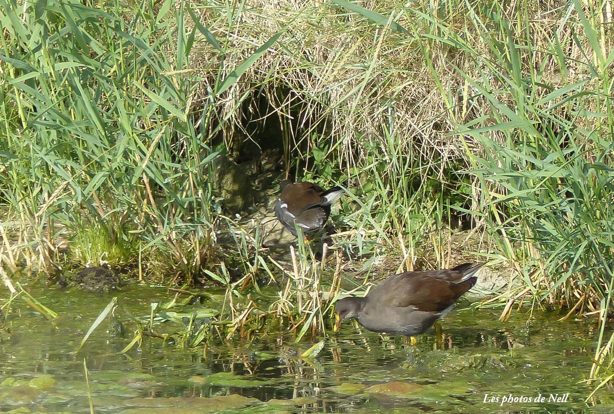 Poule d'eau mâle et femelle  (3).JPG