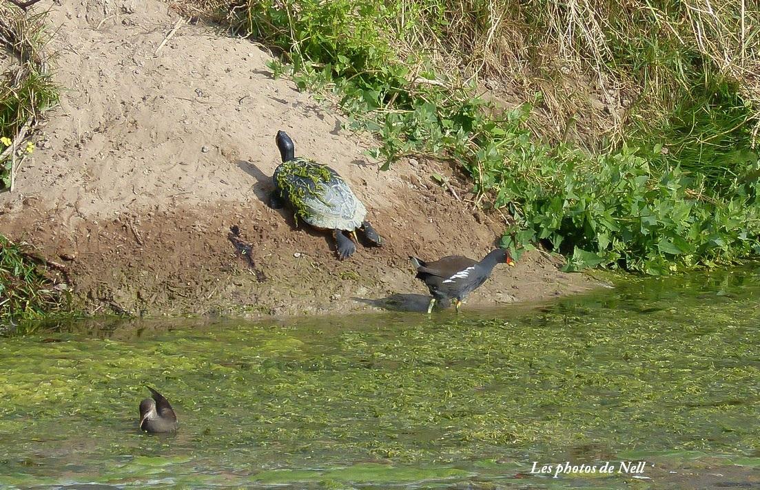 poule d'eau et tortue (2).JPG