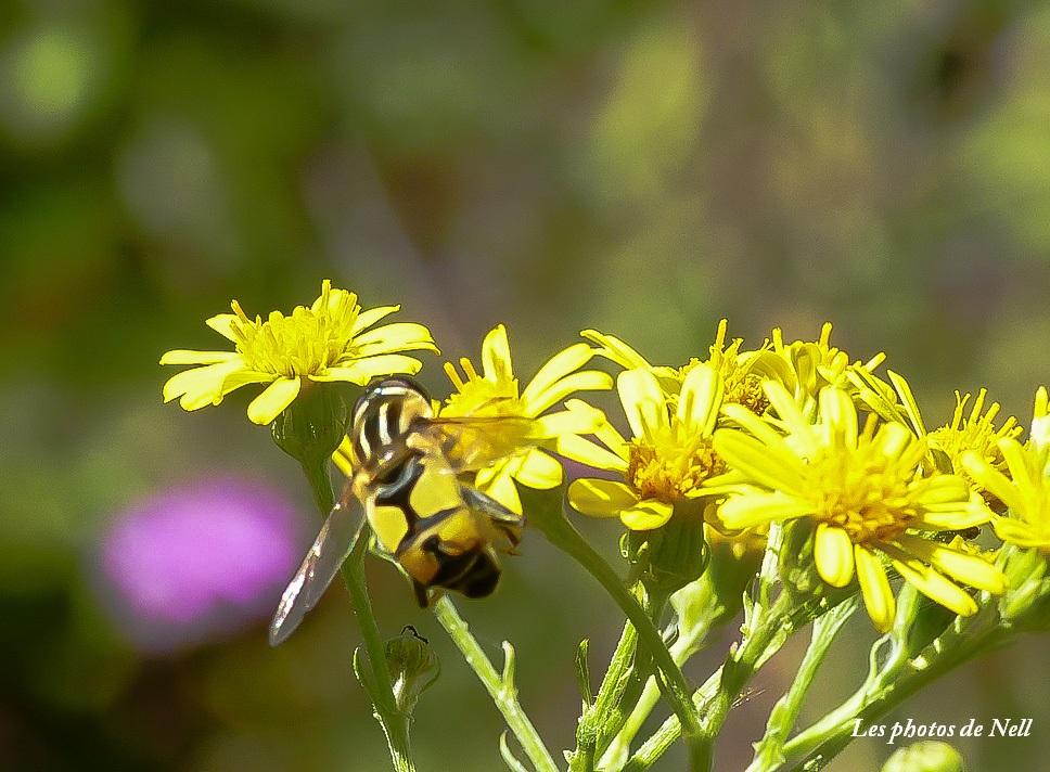 Helophilus trivittatus (Fabricius 1805) (3).JPG