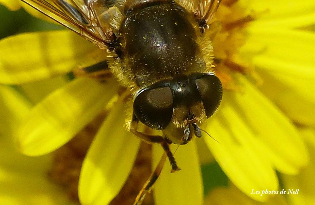 Eristalis arbustorum femelle les yeux ne se touchent pas (1).JPG