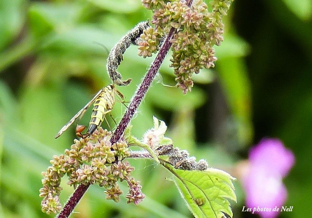 Panorpa vulgarisis mâle (1) Mécoptère Panorpidae (mouche scorpion.JPG