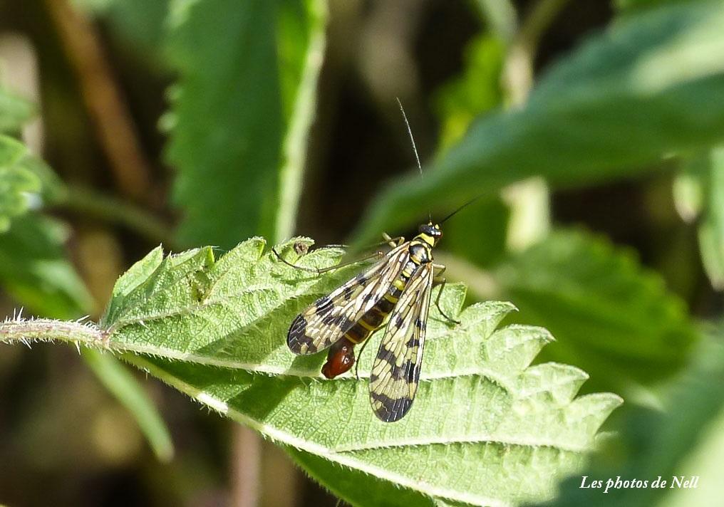 Panorpa vulgaris mâle (3) Mécoptère Panorpidae (mouche scorpion.JPG