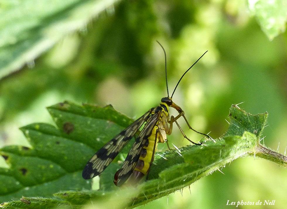 Panorpa vulgaris mâle (4) Mécoptère Panorpidae (mouche scorpion.JPG
