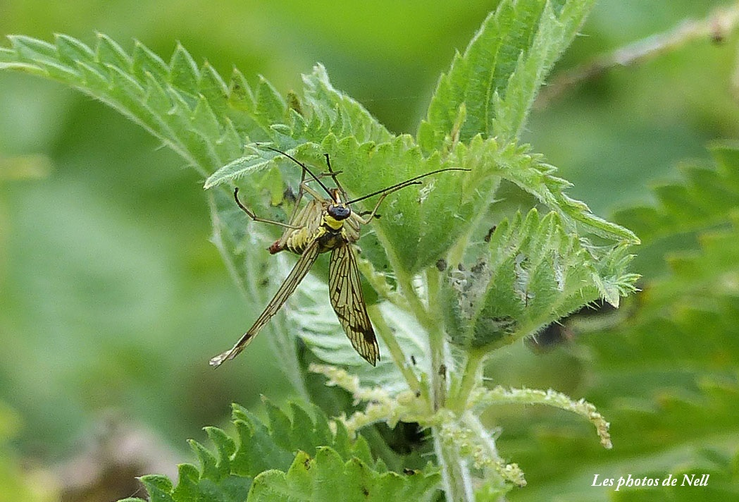Panorpa vulgaris femelle Mécoptère Panorpidae (mouche scorpion.JPG