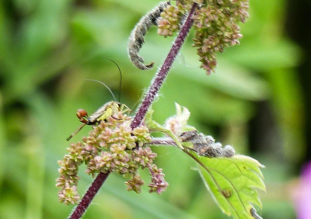 Panorpa vulgaris mâle (2) Mécoptère Panorpidae (mouche scorpion.JPG