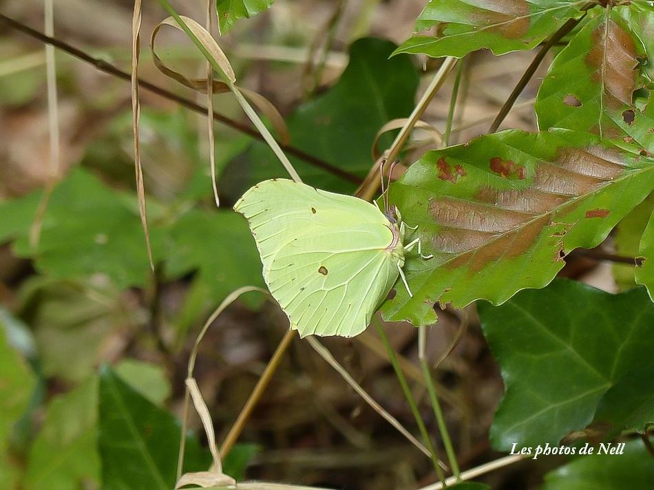 Citron femelle  blanc verdâtre (2).JPG