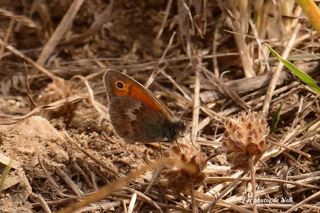 Le Fadet commun Nymphalidae Coenomympha pamphilus.JPG