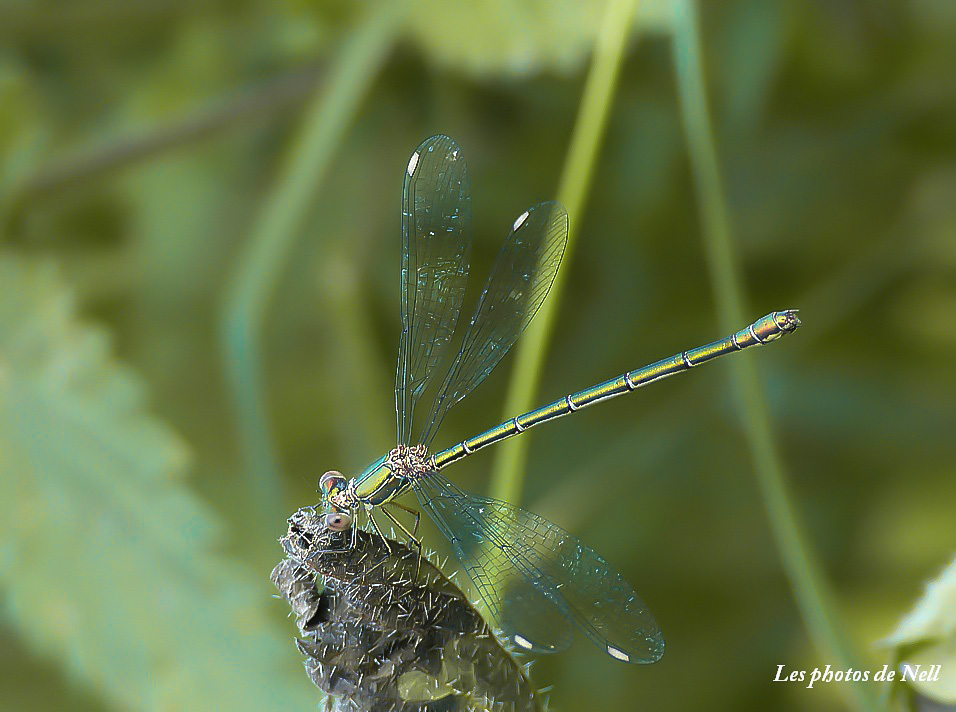 Lestes viridis – Leste vert (6).JPG
