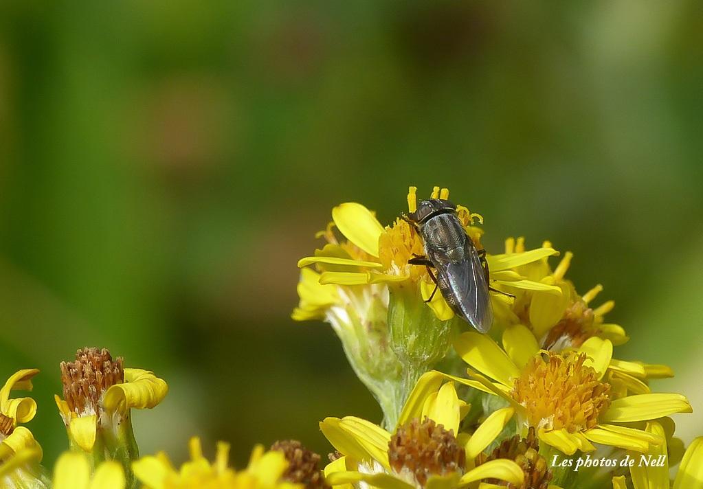Stomorhina lunata (Fabricius 1805) (3).JPG