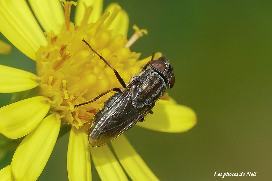 Stomorhina lunata (Fabricius 1805) (2).JPG