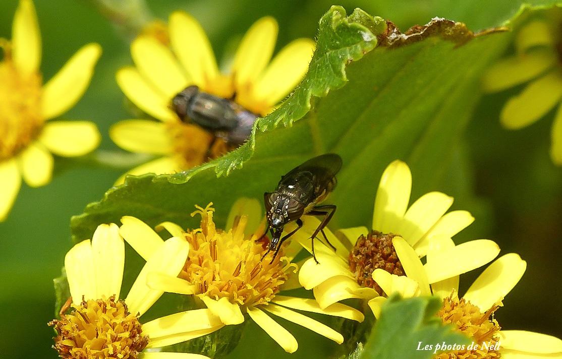 Stomorhina lunata (Fabricius 1805) (4).JPG