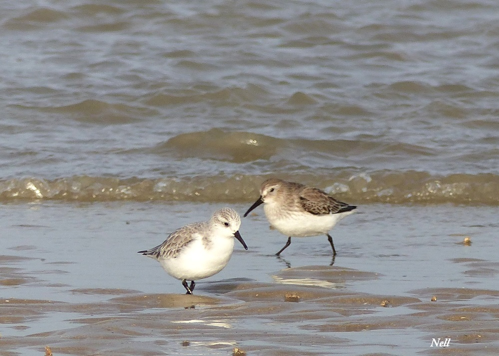 Becasseaux sanderling et variable.JPG