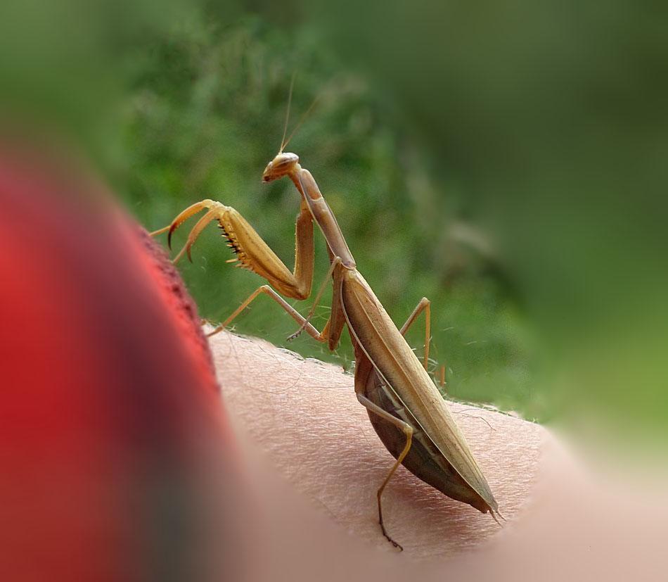 Mante religieuse les photos de nellou - Insecte dans les maisons ...