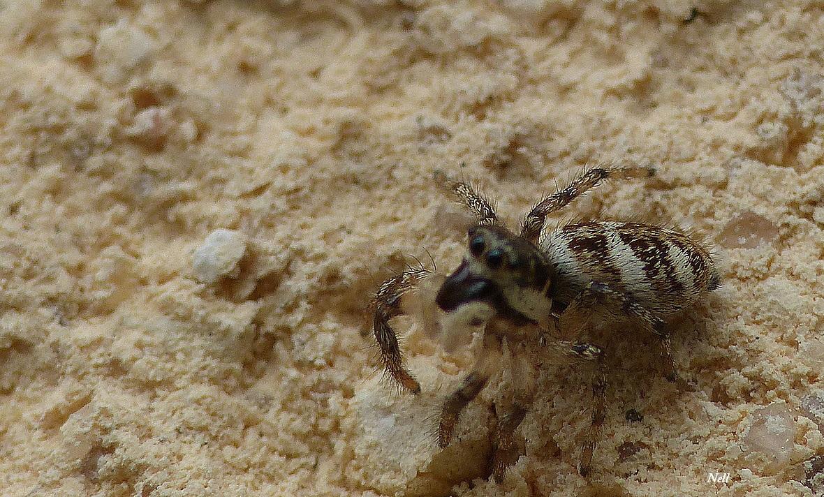 Araignée sauteuse Sitticus floricola (3).JPG