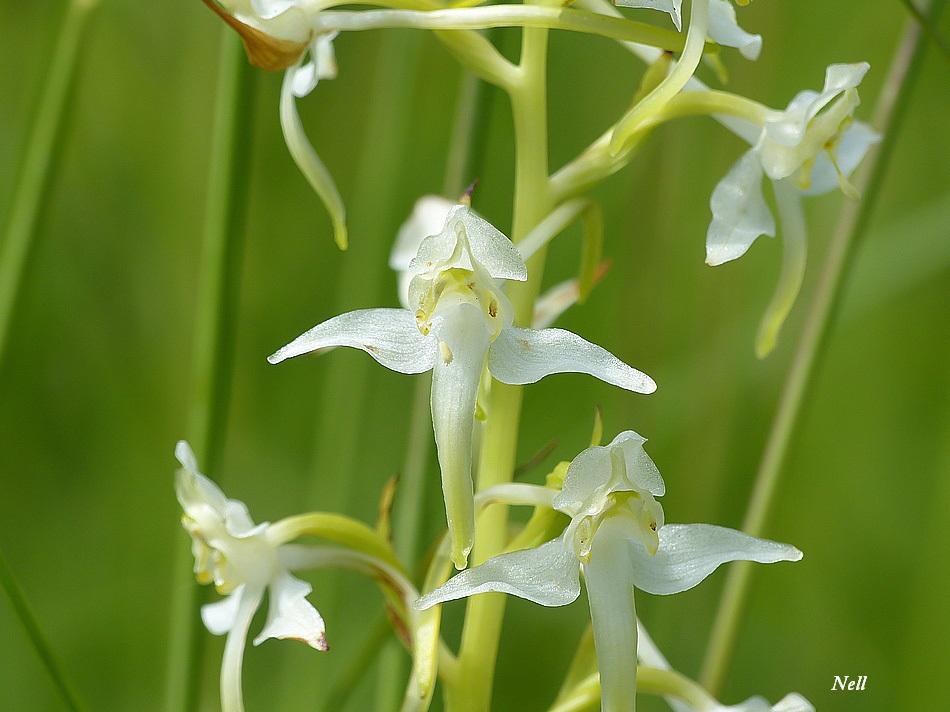 Plathanthère bifoliée Orchis blanc (5).JPG
