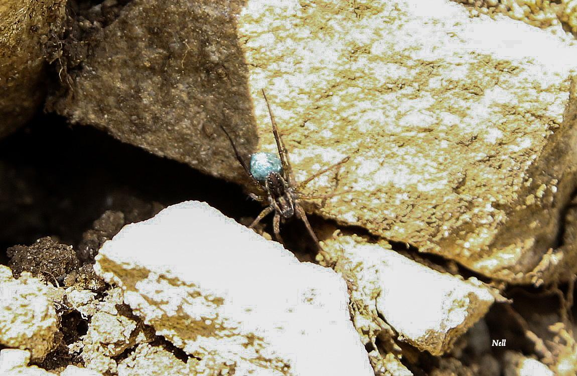 araignée-loup une Lycosidae... Une Trochosa sp (1).JPG