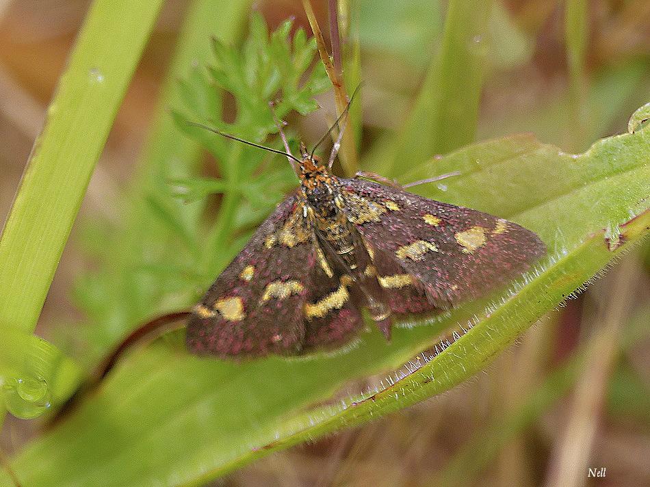 Pyrausta purpuralis (1).JPG