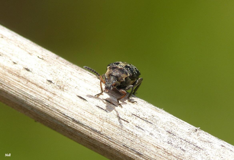 Bruchus sp chrysomelidae (5).JPG