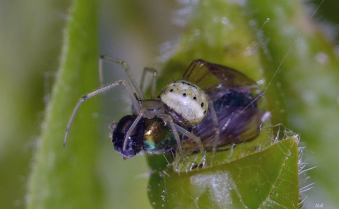 Enoplognatha sp.groupe latimana-ovata  (1).JPG