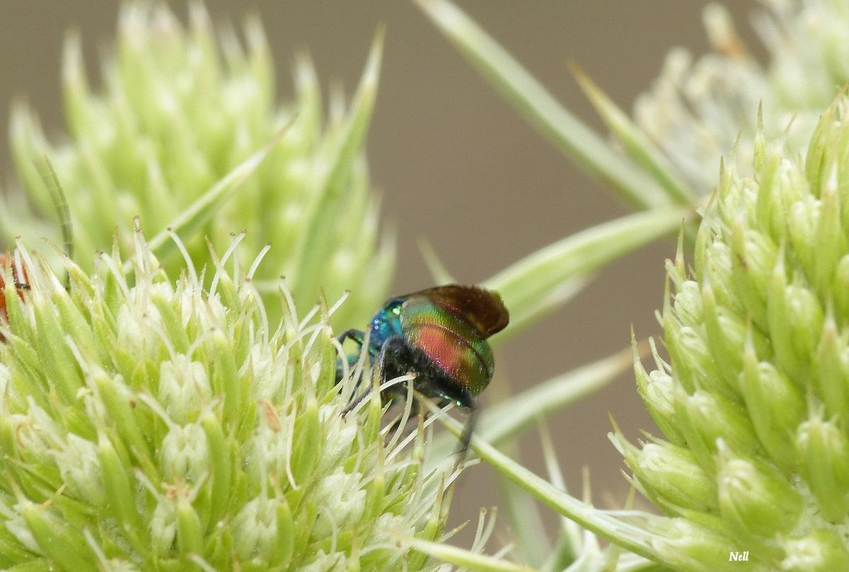 Chrysis ignita guèpe coucou famille chrysidides (2).JPG