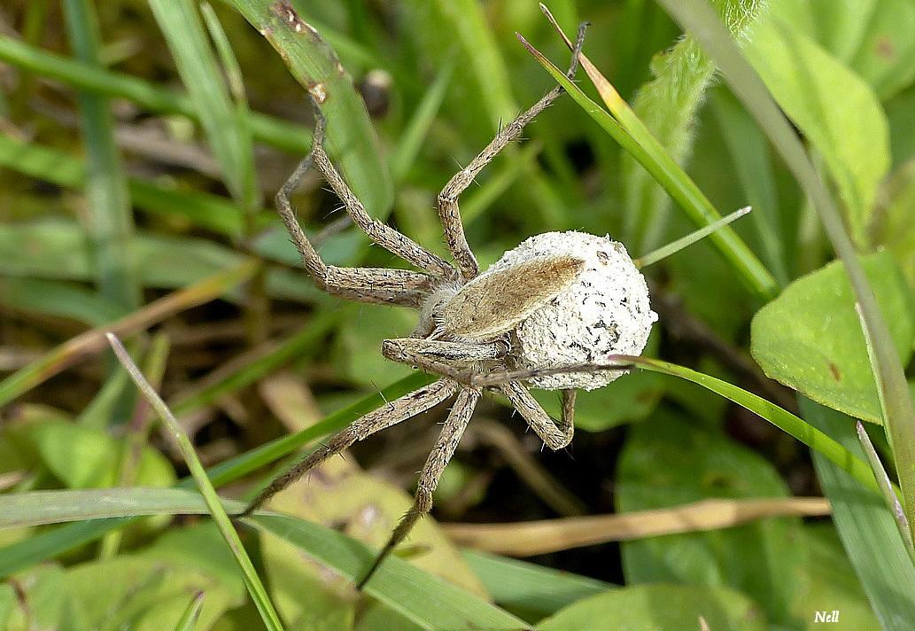 Pisaura mirabilis femelle (1).JPG