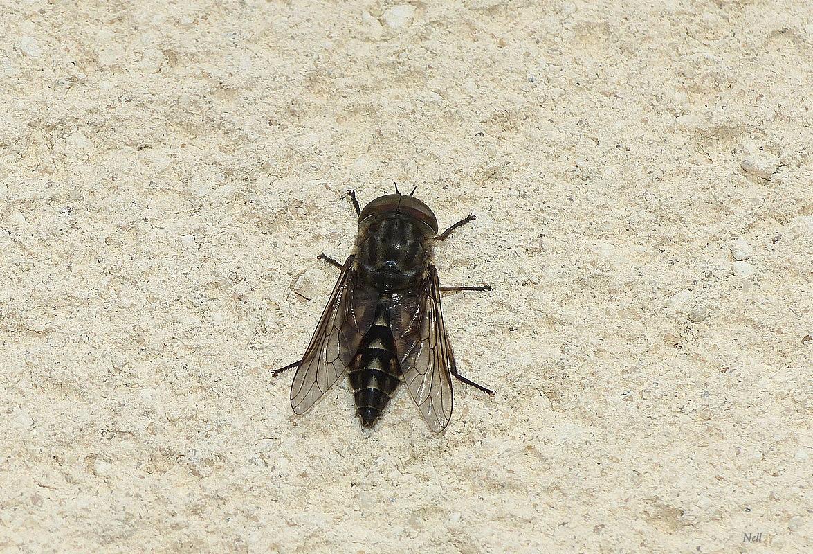 Tabanus sudeticus male (1).JPG