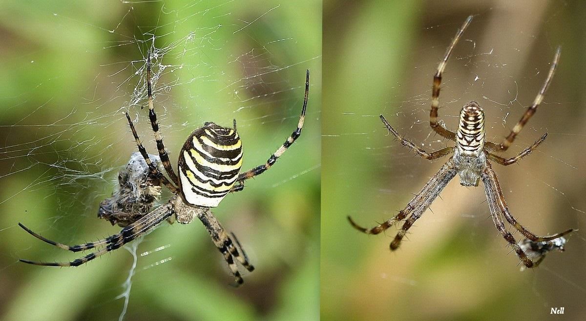 Araignée Argiope fasciée.jpg