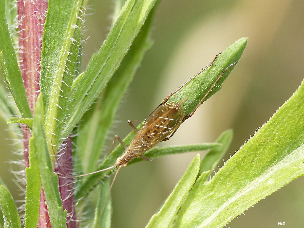 Oecanthus pellucens . Grillon transparent (5).JPG