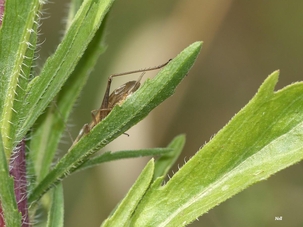 Oecanthus pellucens . Grillon transparent (4).JPG