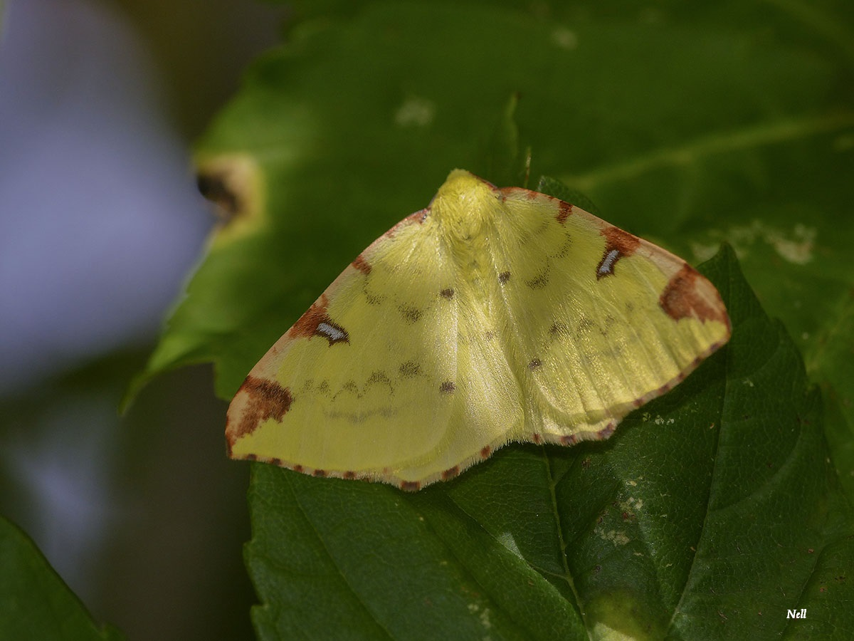 Opisthograptis luteolata la citronnelle rouillée papillon de nuit (9).JPG