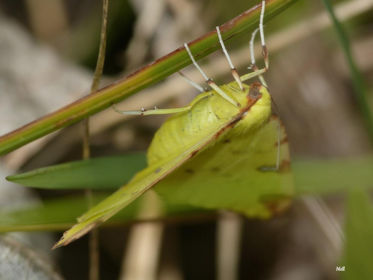 Opisthograptis luteolata la citronnelle rouillée papillon de nuit (5).JPG