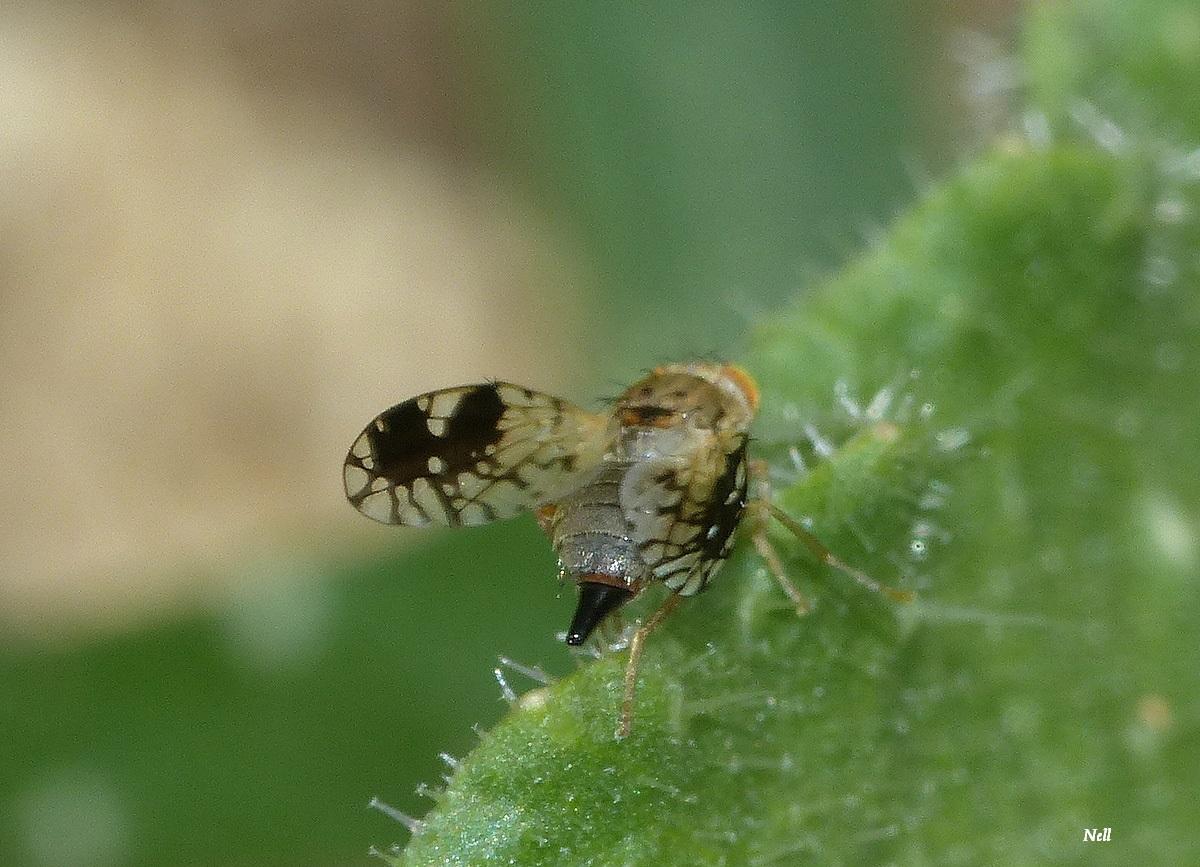 Tephritis neesii femelle.Tephritidae. Diptères (4).JPG