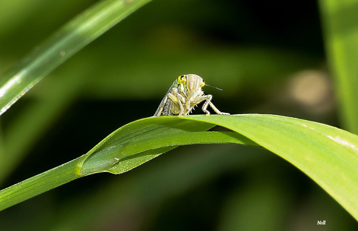 La Cicadelle verte (Cicadella viridis)Homoptères  (2).JPG