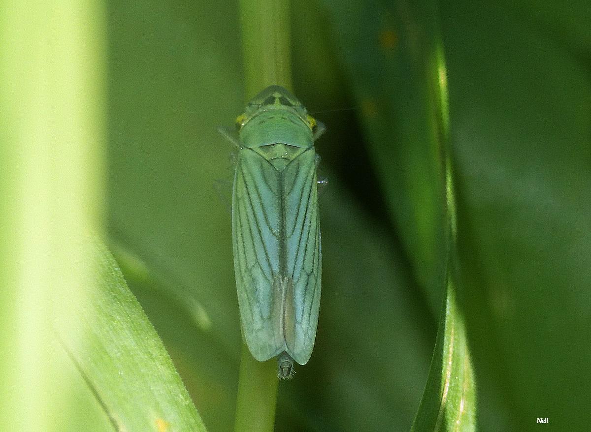La cicadelle femelle (2).JPG