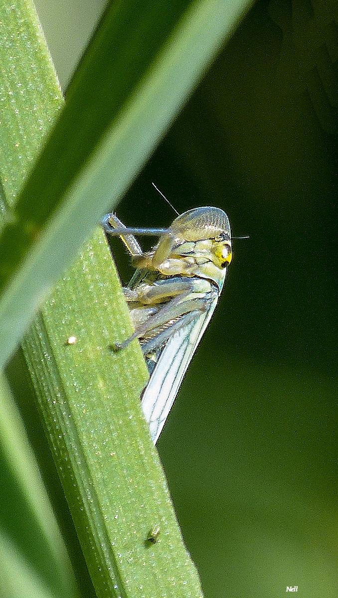 La cicadelle femelle (1).JPG