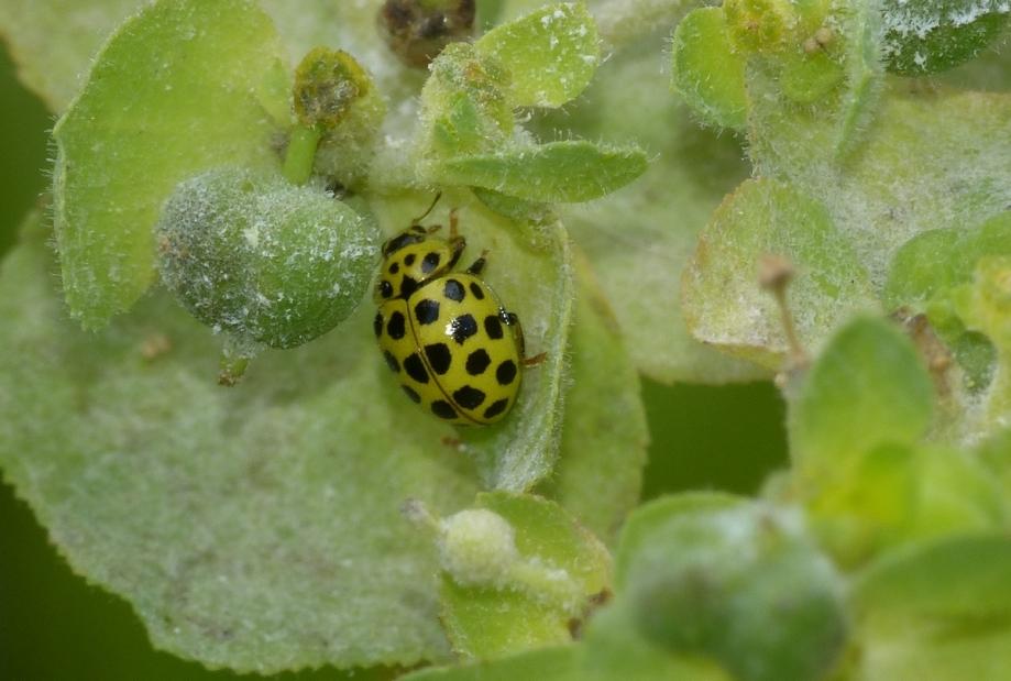 Psyllobora vigintiduopunctata coccilelle à 22 points (1).JPG