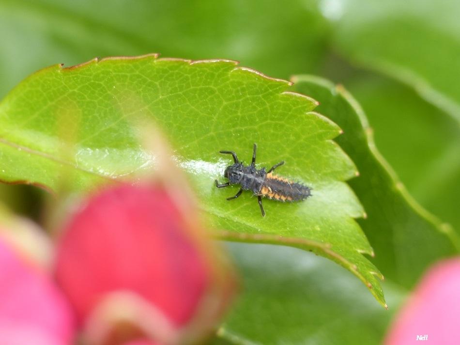 larve d'Harmonia sp (3).JPG