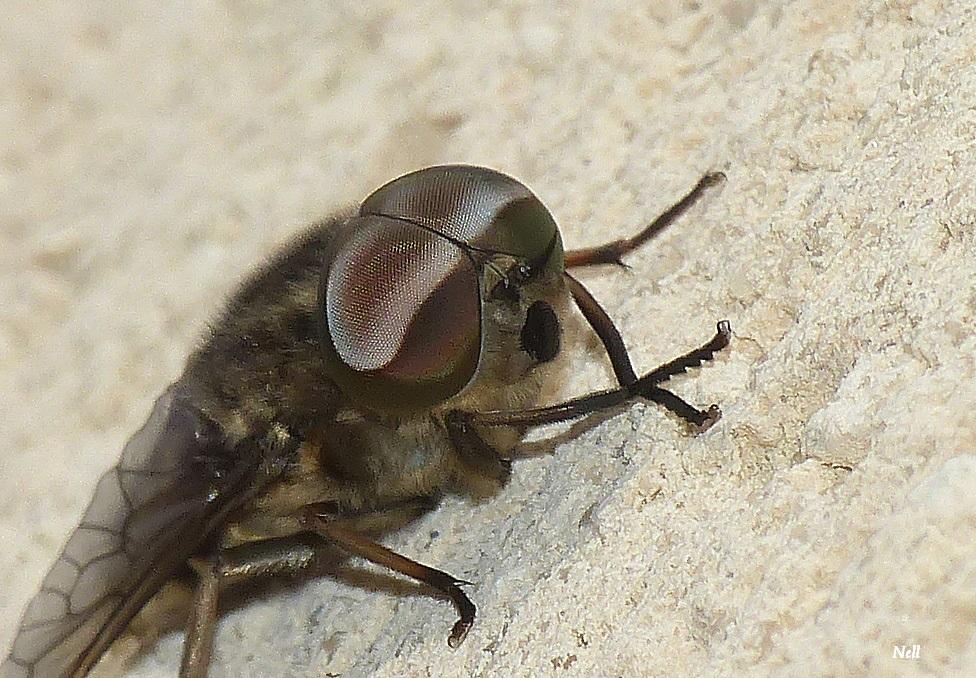 Tabanus sudeticus male (5).JPG