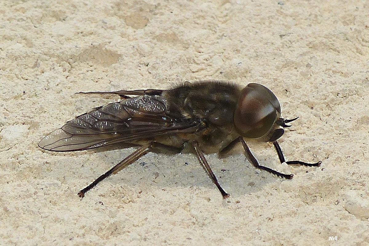 Tabanus autumnaliss male (3).JPG