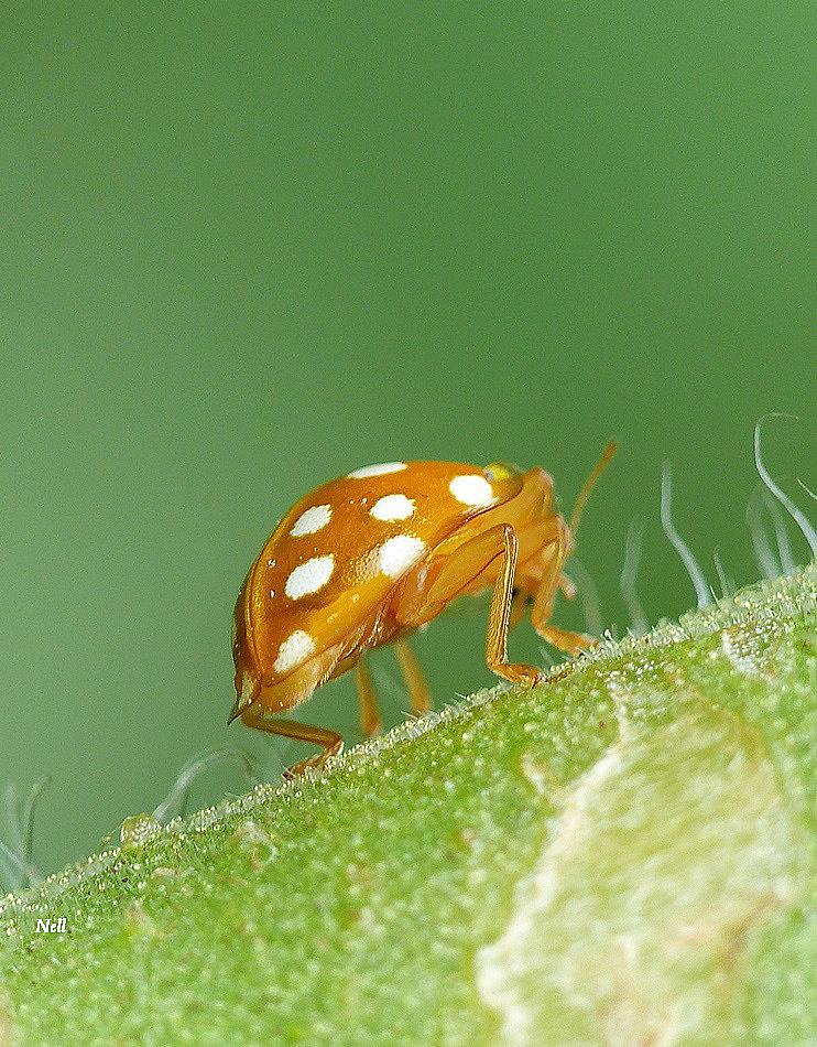 Halyzia sedecimguttata  (1).JPG