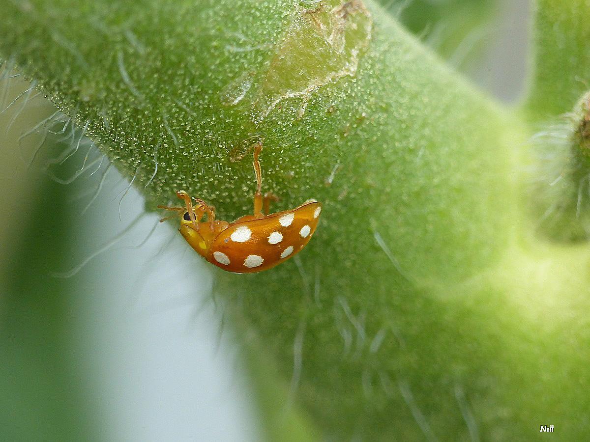 Halyzia sedecimguttata  (3).JPG