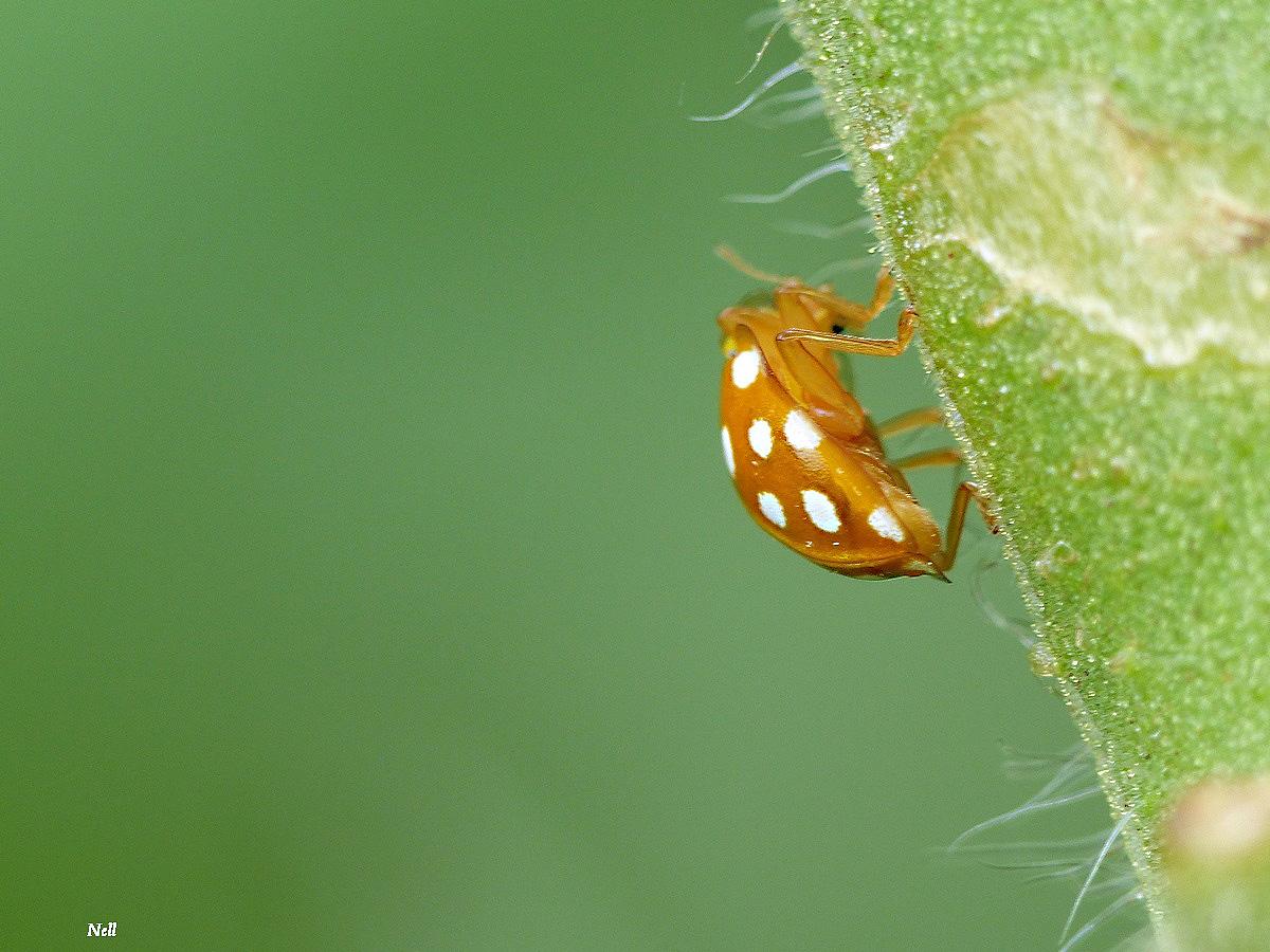Halyzia sedecimguttata  (4).JPG